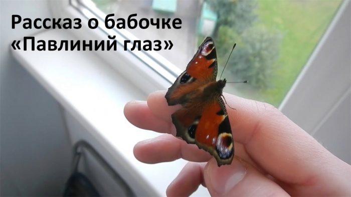 rasskaz-o-babochke-pavlinii-glaz